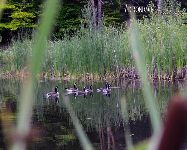 Summer in the Adirondacks | Canadian Geese | Adirondack Weddings Magazine