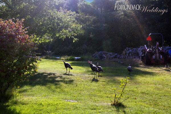 Wild Turkeys | Summer in the Adirondacks | Adirondack Weddings Magazine