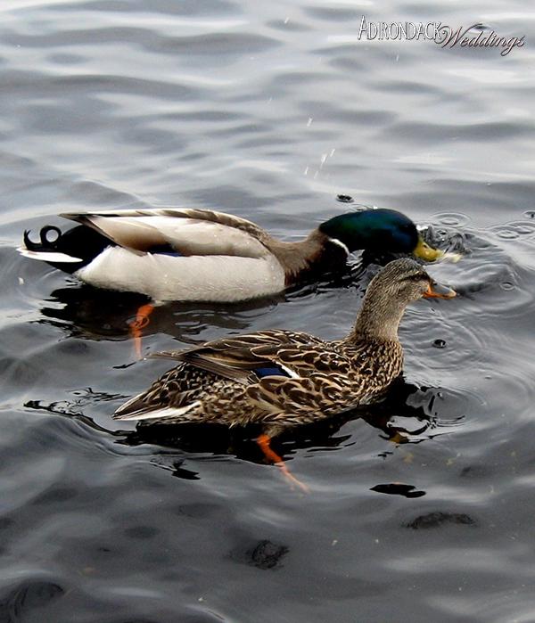 Lake Champlain Ducks | Adirondack Weddings Magazine