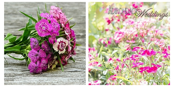 Dianthus Flowers | Adirondack Weddings Magazine