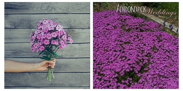 Phlox | Adirondack Weddings Magazine