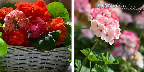 Geraniums | Adirondack Weddings Magazine