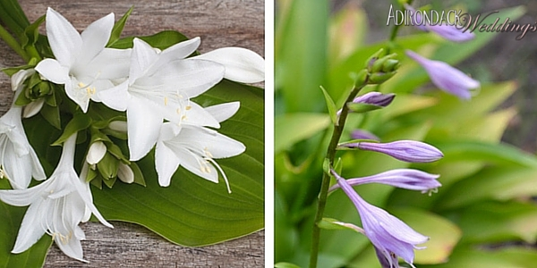 Hostas | Adirondack Weddings Magazine